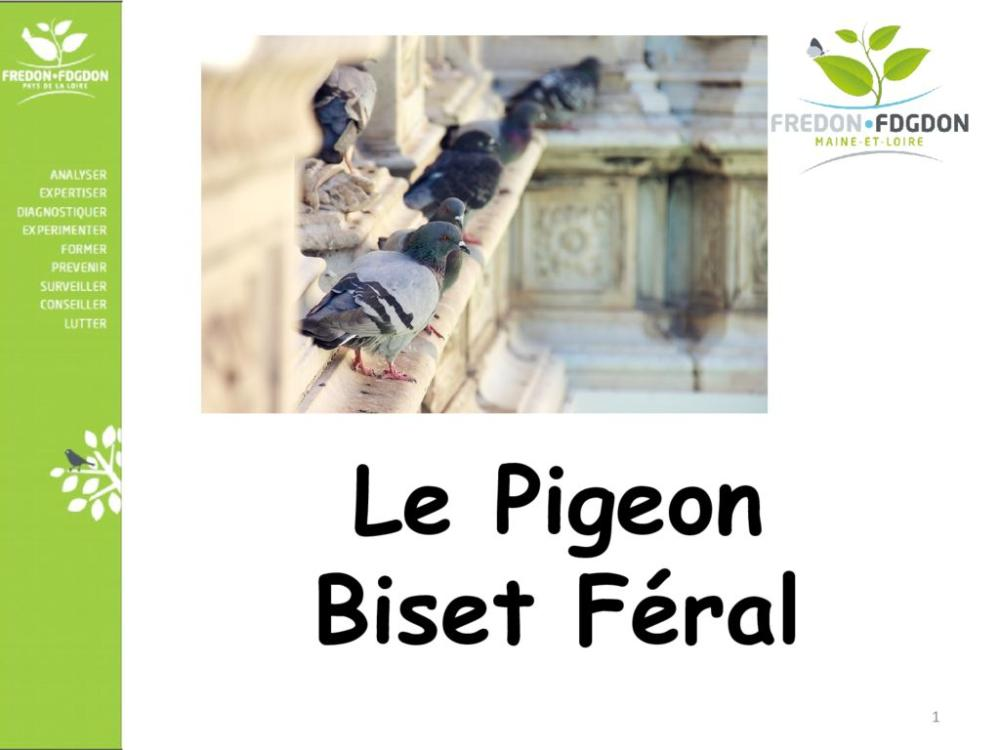 thumbnail of Présentation pigeon biset féral lutte