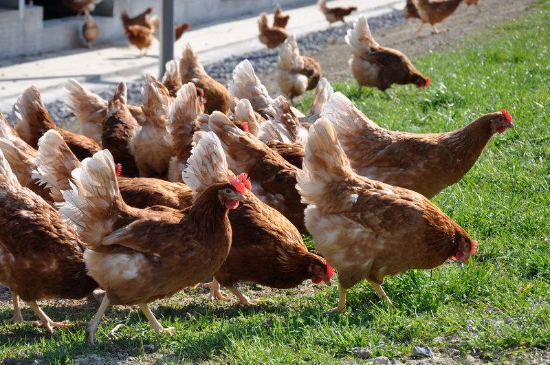 Lutter contre l'influenza aviaire